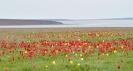 Тюльпаны на озере Маныч, Элиста