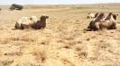 Верблюды Сарай Бату